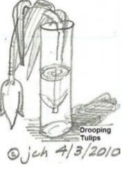 droop tulips